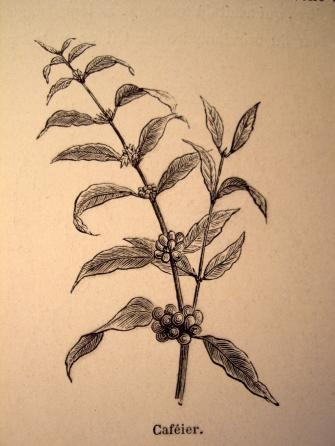 Coffea arabica L., 1753
